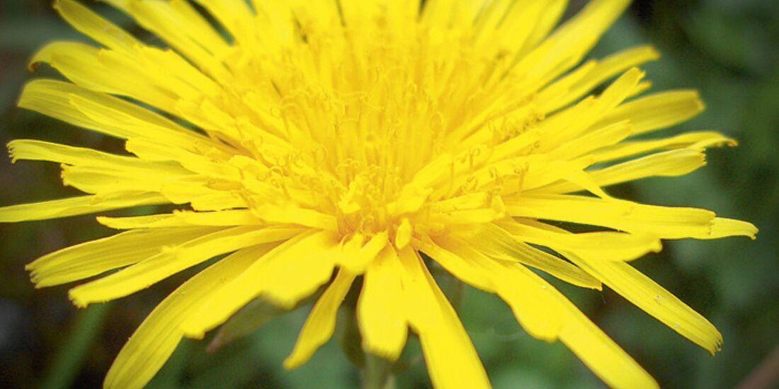 CAV 06_2010 Giftpflanzen_c07-058-21_Habichtskraut_Fotolia_14018395_S (jpg)