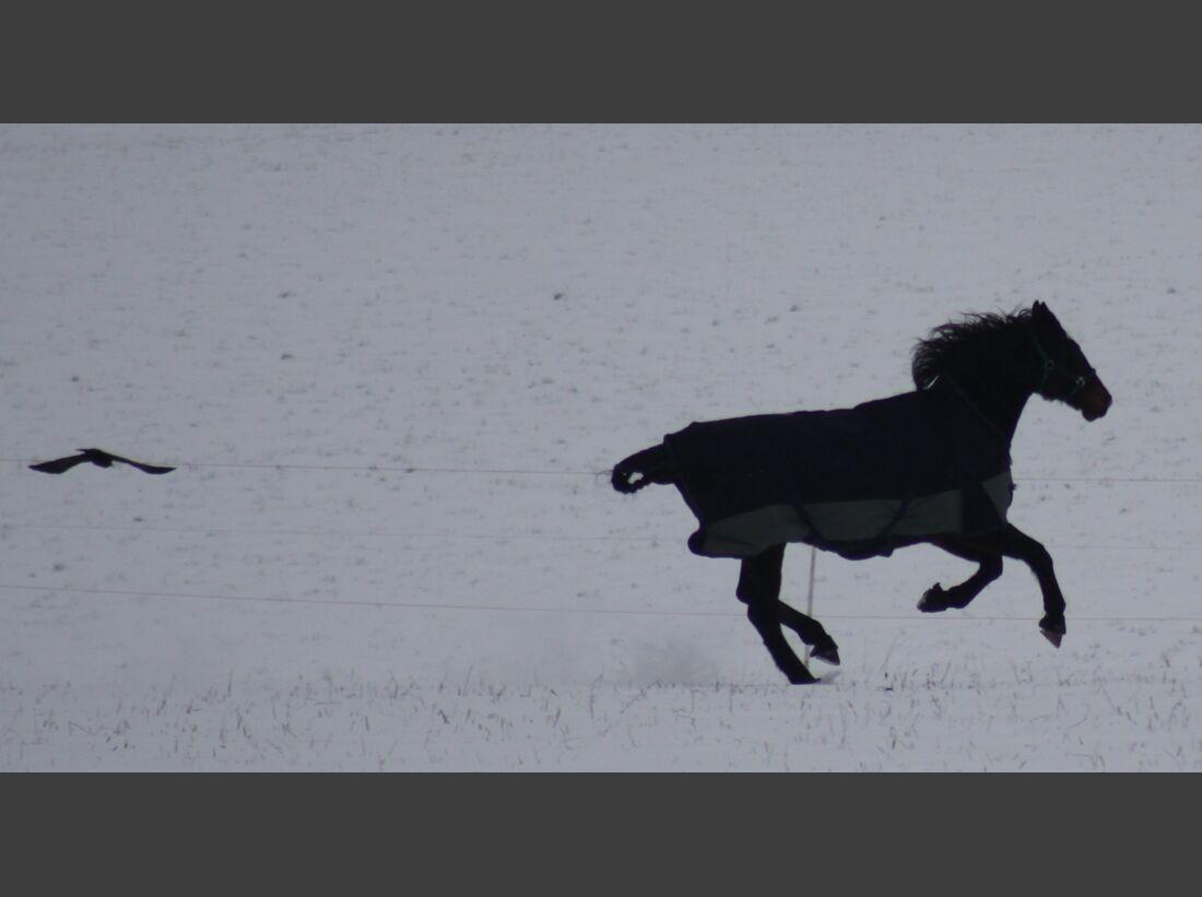 """CAV CEWE Fotowettbewerb 2013 Leserfotos Ramona Kolenics - Lesertext: IMG_5143.JPG zeigt meine 16-jährige Hessenstute \""""Alice\"""" beim Toben im Schnee im Februar 2013 mit dem Kolkraben \""""Sky\"""" IMG_7152.JPG zeigt ebenfalls meine mittlerweile 17-jährige Hessen"""