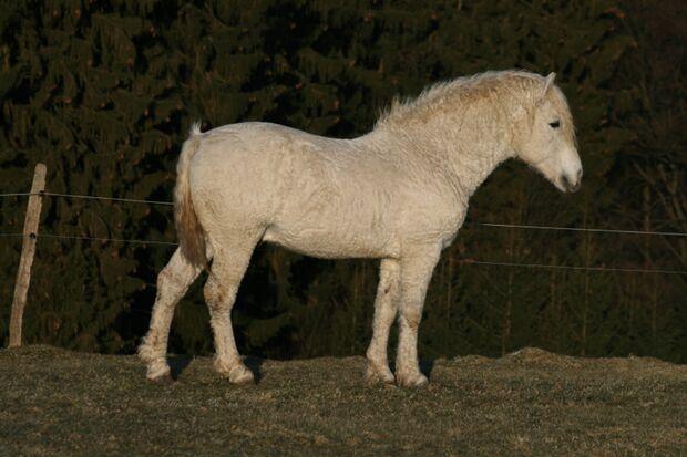 CAV Curly Horses Fell