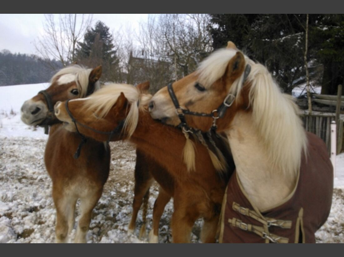 CAV Haflinger Pferderasse Rasse Leserfotos 56
