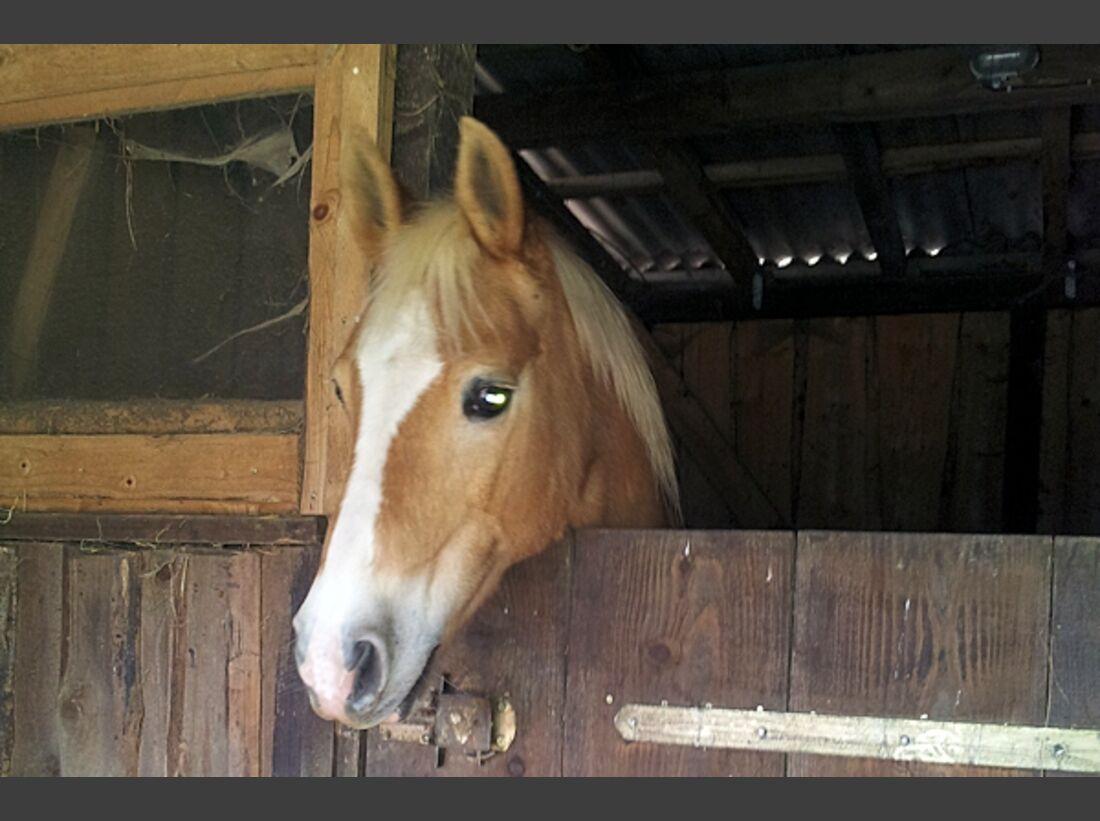CAV Haflinger Pferderasse Rasse Leserfotos 58
