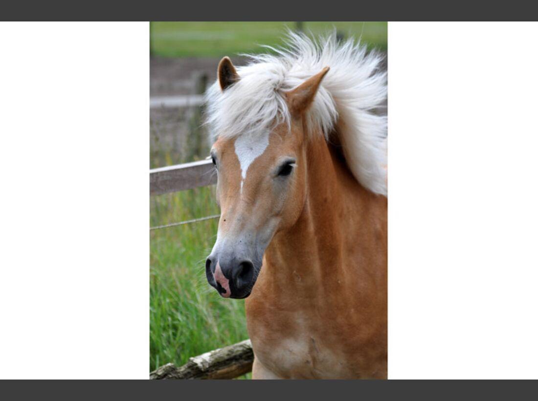 CAV Haflinger Pferderasse Rasse Leserfotos - Anne Cunze