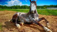 CAV Liegendes Pferd