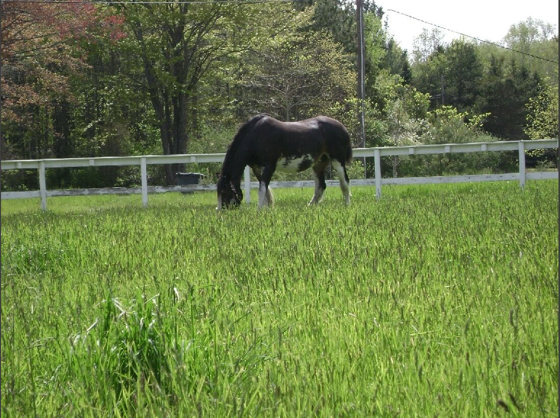 CAV_MS Clydesdales_River grazing on beautiful green grass (jpg)
