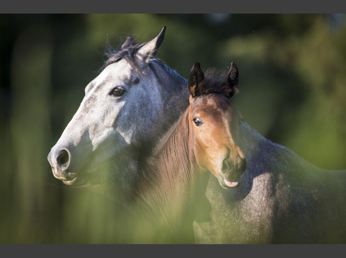 CAV Nooitgedachter Rasse Pferderasse 2