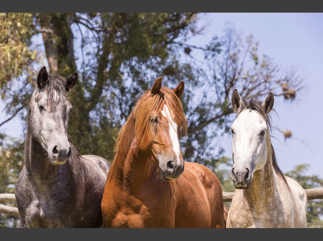 CAV Nooitgedachter Rasse Pferderasse 5