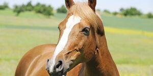 CAV Pferd Koppel Fuchs Weide Kopf