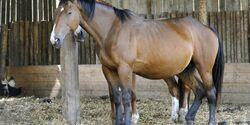 CAV Pferd im Stall