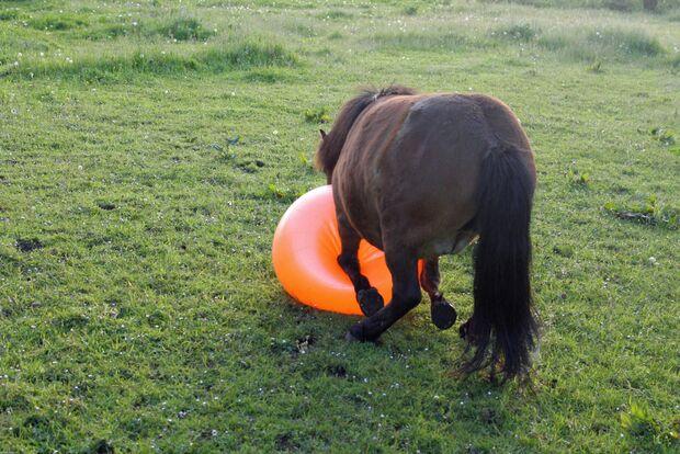 CAV Pferd spielt Ball Tasmate 1