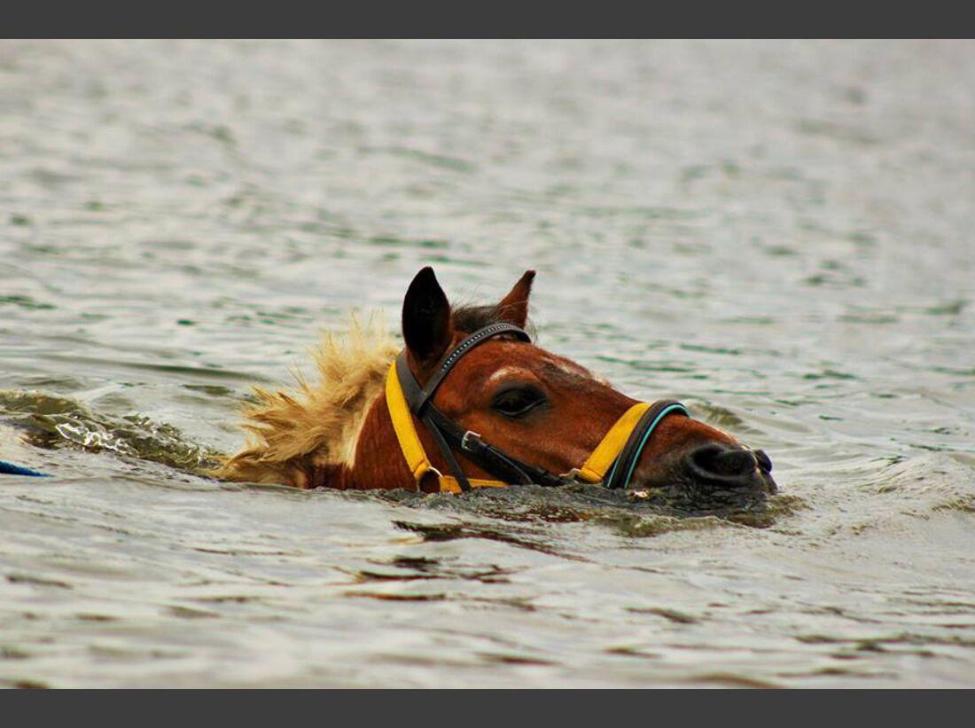 CAV-Pferde-beim-schwimmen-Kristina-Barney (jpg)