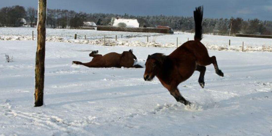 CAV Pferde im Schnee - Paule und Nisse