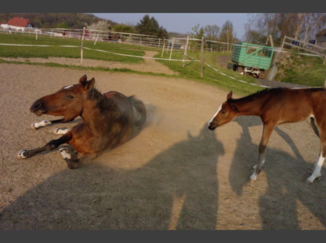 CAV Pferde wälzen 14