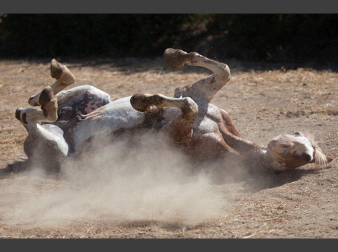CAV Pferde wälzen 2
