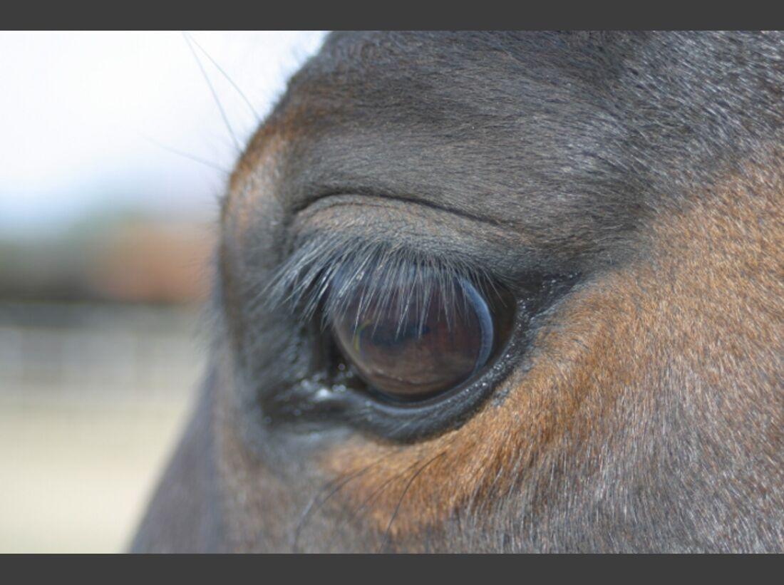 CAV Pferdeaugen Augen Casey Quarter Horse MS