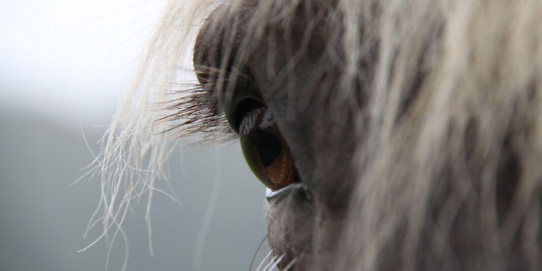 CAV Pferdeaugen Augen Comtois MS_61