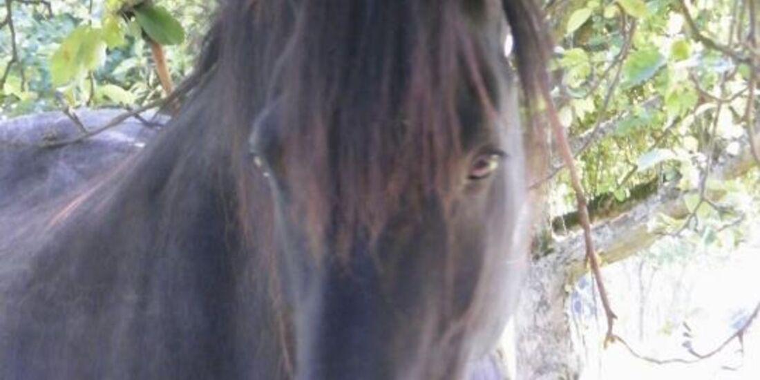 CAV Pferdeaugen Augen Friese MS _21