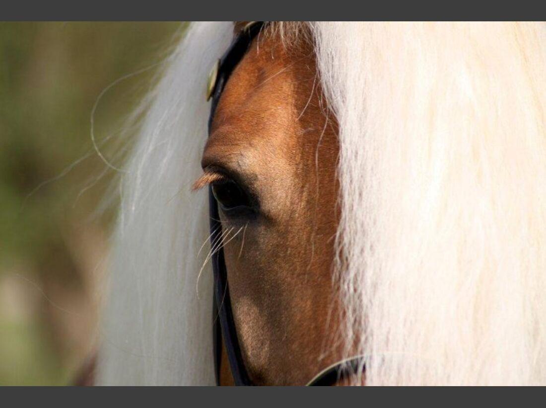 CAV Pferdeaugen Augen Haflinger MS_35