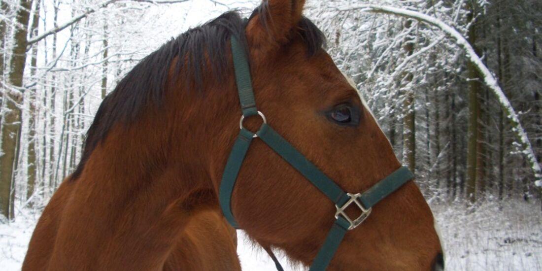 CAV Pferdeaugen Augen Oldenburger MS_68