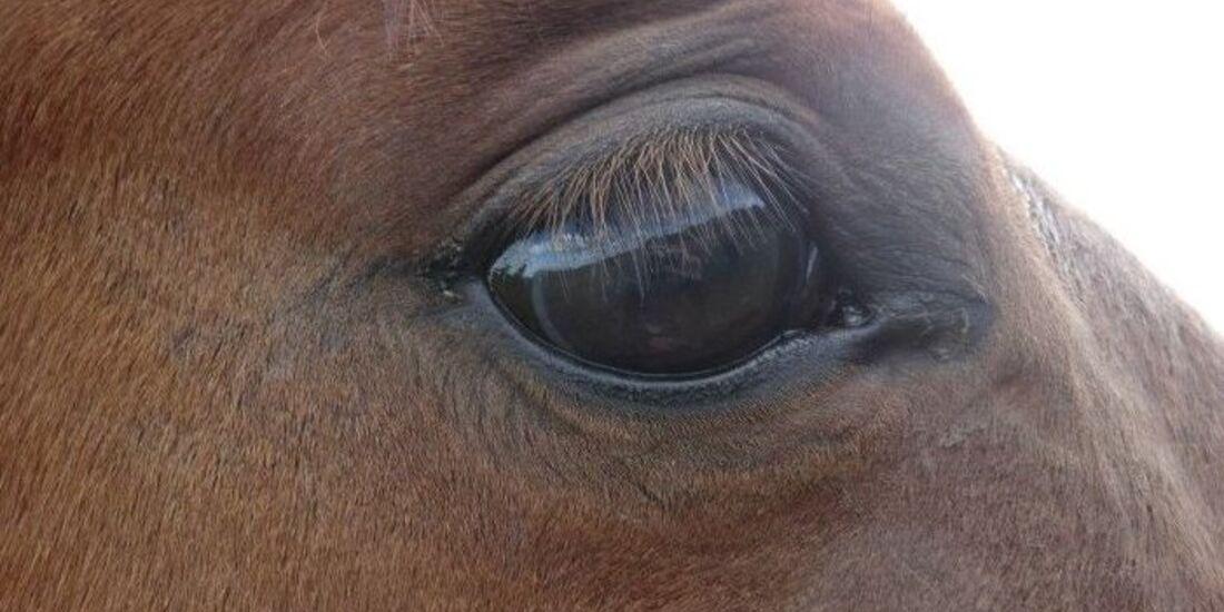 CAV Pferdeaugen Augen Paint MS _15