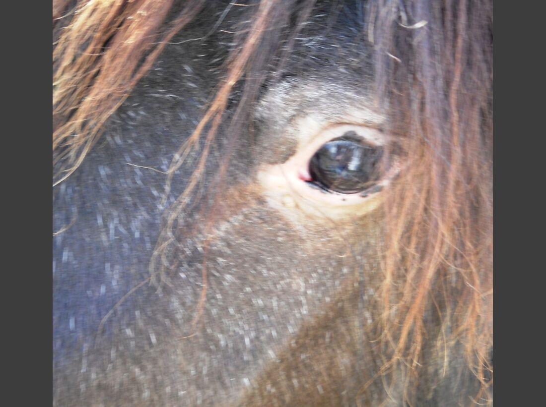 CAV Pferdeaugen Augen Shetty MS_32