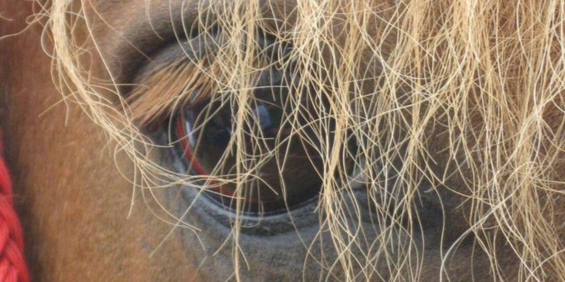CAV Pferdeaugen Augen Wallach MS_54