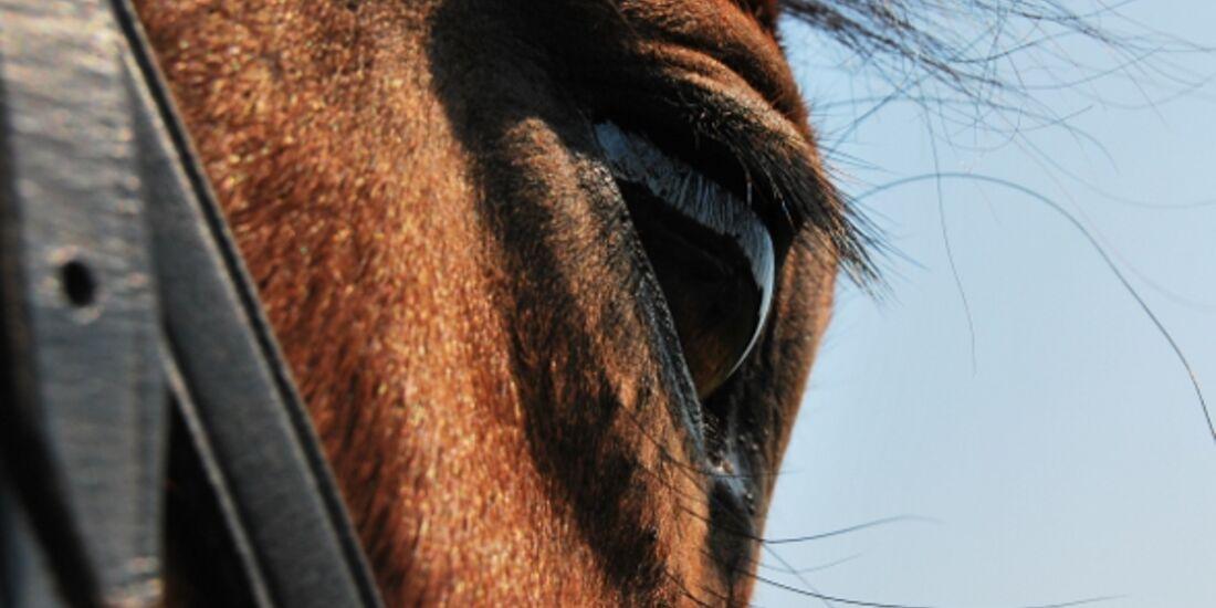 CAV Pferdeaugen Pinto MS_57