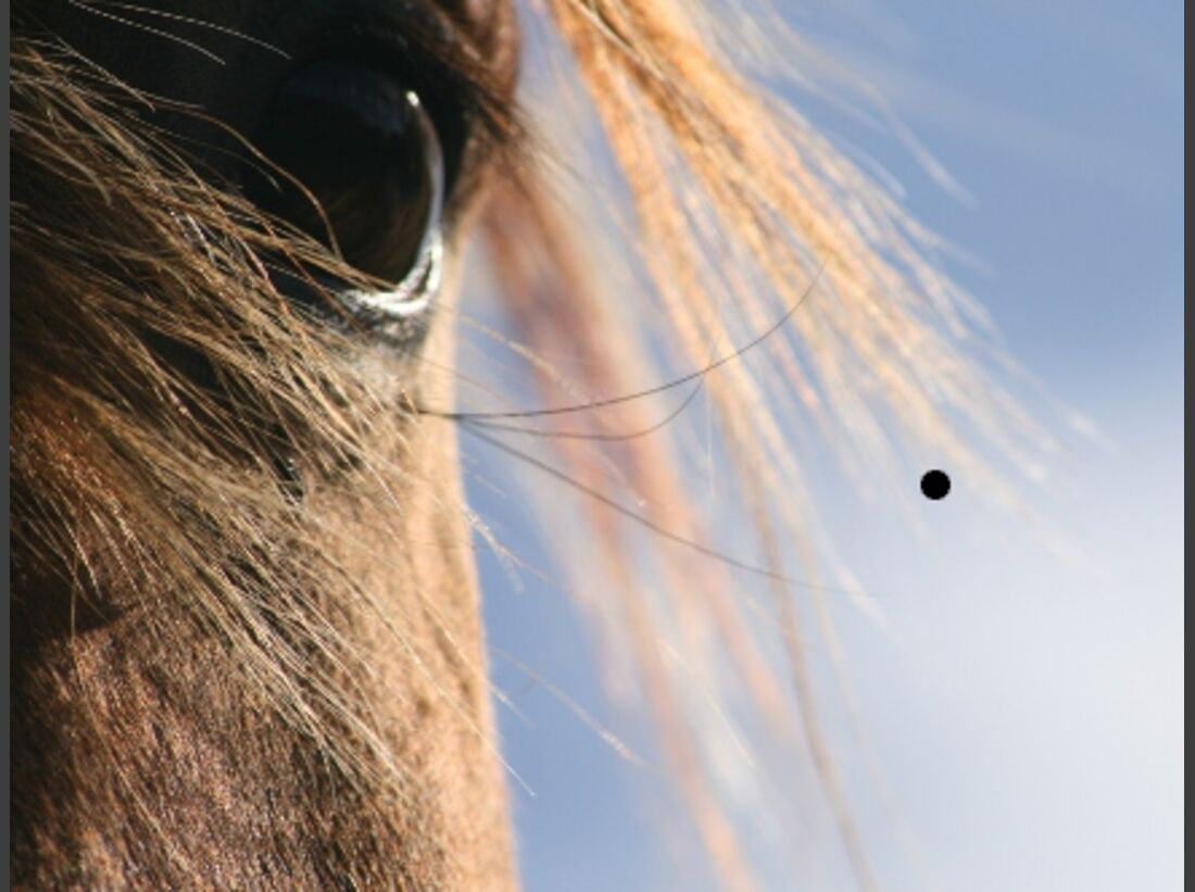 CAV Pferdeaugen Polnisches Warmblut von der Ostsee MS