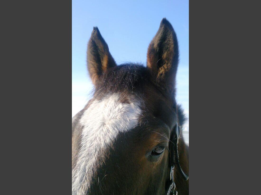 CAV-Pferdeohren-Annette-Haink