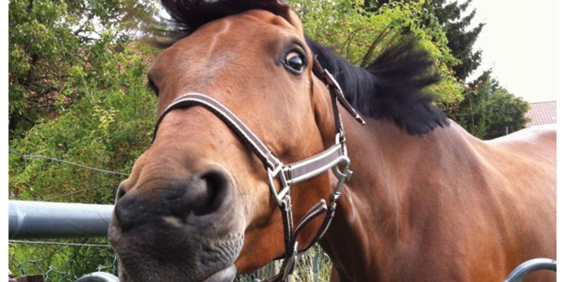 CAV Pferdeohren - Isabell Kramer