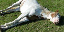 CAV Schlafende Pferde Leserfotos Nicole
