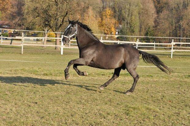 CAV Senioren  Pferdesenioren alte Pferde MS Franz Kladruber