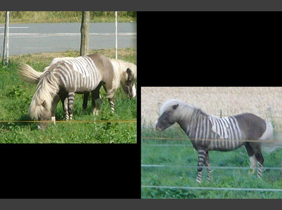 CAV Zebra Leserfotos 11